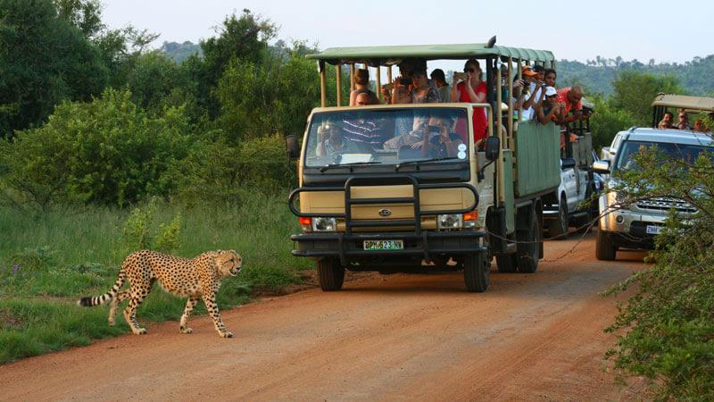 Cheetah crossing road in front of safari tour